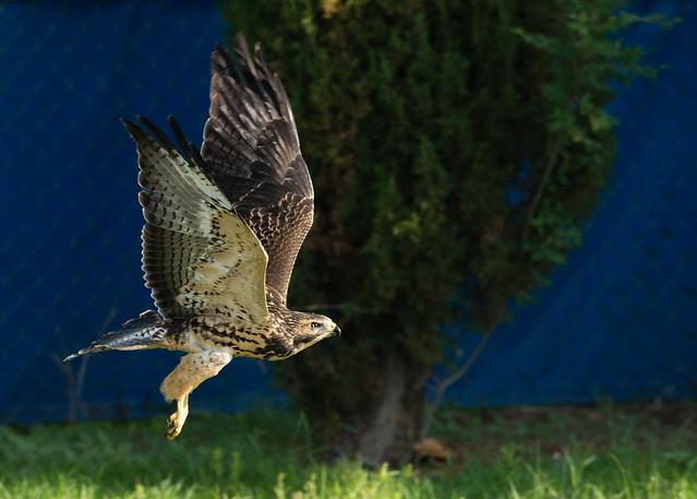 Swainson's Hawk Flying