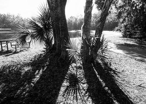 sunshadows lightandshadows blackandwhite monochromatic park bushmanpark portorangeflorida palmtree trees picnictable benches lake scenic landscape