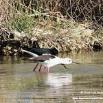La cópula de la cigüeñuela. Lagunas de La Guardia (Toledo) 2-4-2017