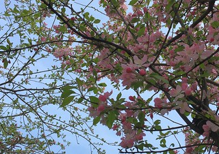 Turkey (Istanbul) Spring pink blossoms