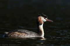 Great Crested Grebe 72312