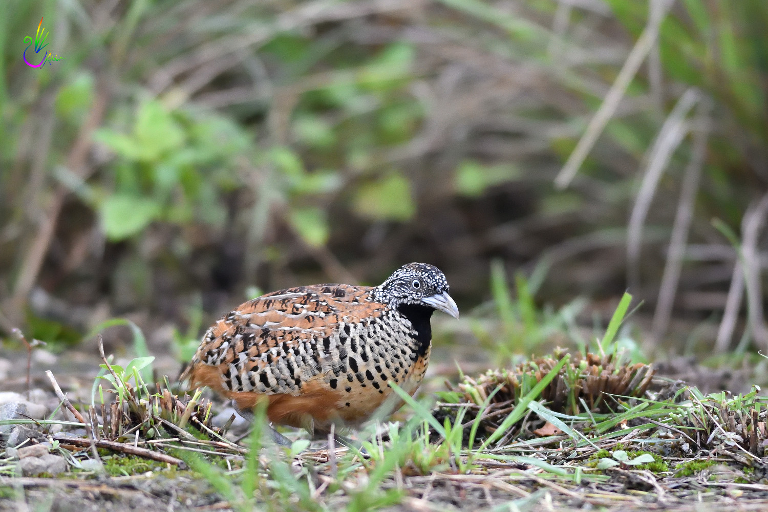 Barred_Buttonquail_2017
