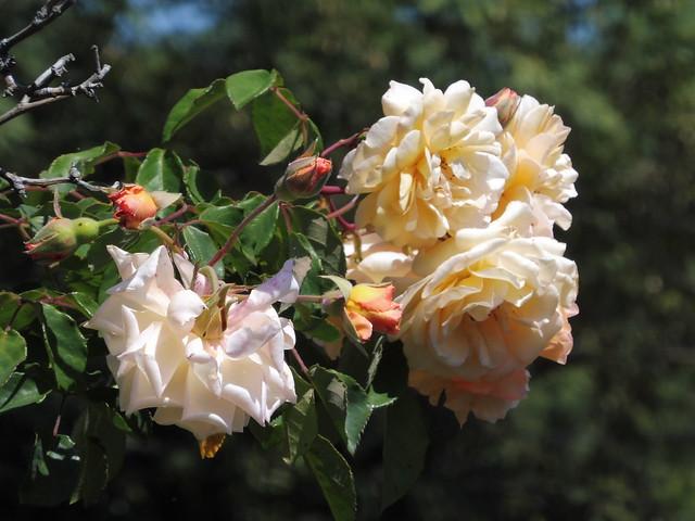 P1030490 buff beauty roses goleta close up