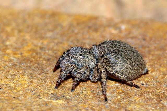 Aelurillus sp. - SALTICIDAE - Sierra de Pizarra (Málaga) (3)