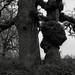 Oaks, Sauvie Island, Oregon by austin granger