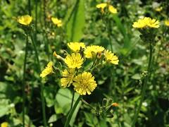 五十二甲溼地上的野花:黃鞍菜。