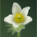 29.03.14 Day 88 Pasque Flower by margaret_99