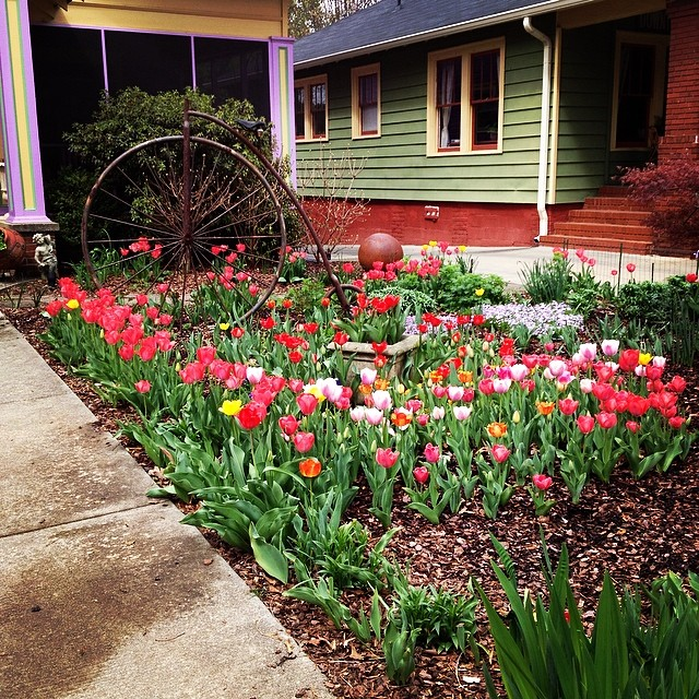 My yard is better than your yard. #tulips #spring #sometimesiskiptomydoor