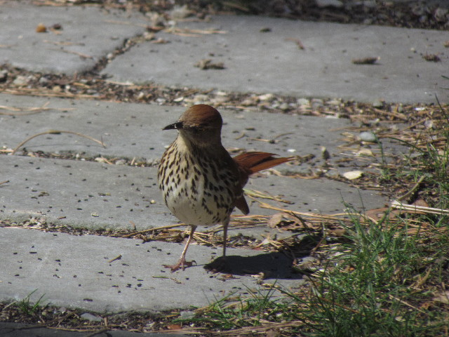 First Brown Thrasher1 4:20:14