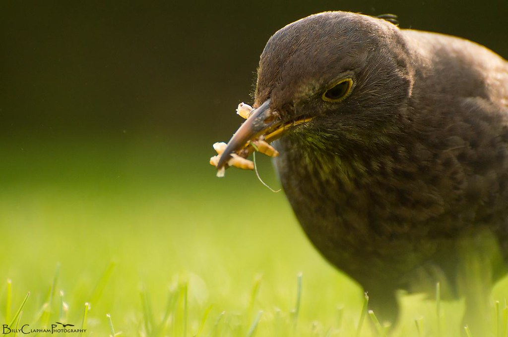 female blackbird mealworm food mum