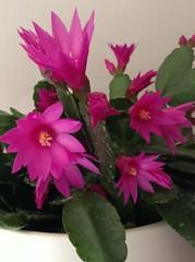 Easter cactus by Liz Nicholson