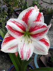 Amaryllis, fully open