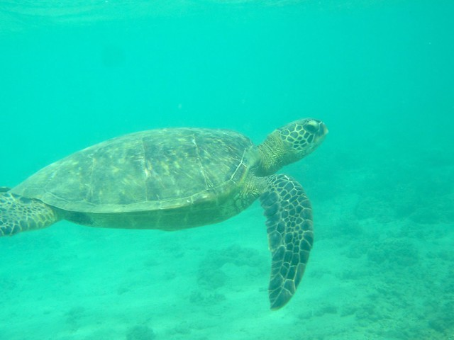 Swimming with a sea turtle