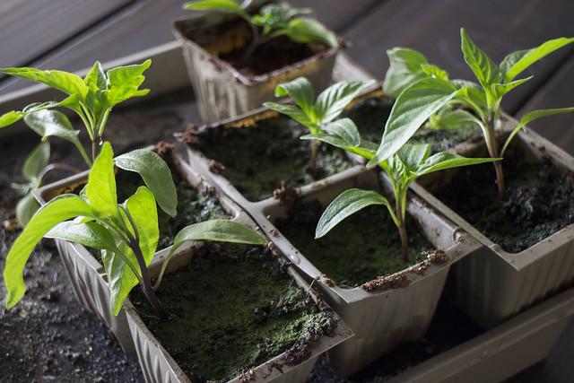 Pepper Plant That Wont Die_3