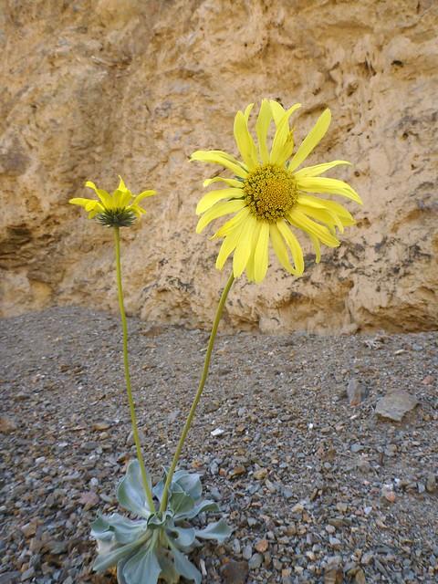 panamint daisy
