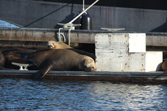 animal, sea lion, mammal,
