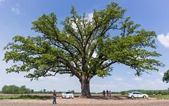 State Champion Bur Oak