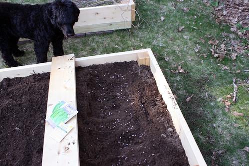 pea planting  IMG_7301