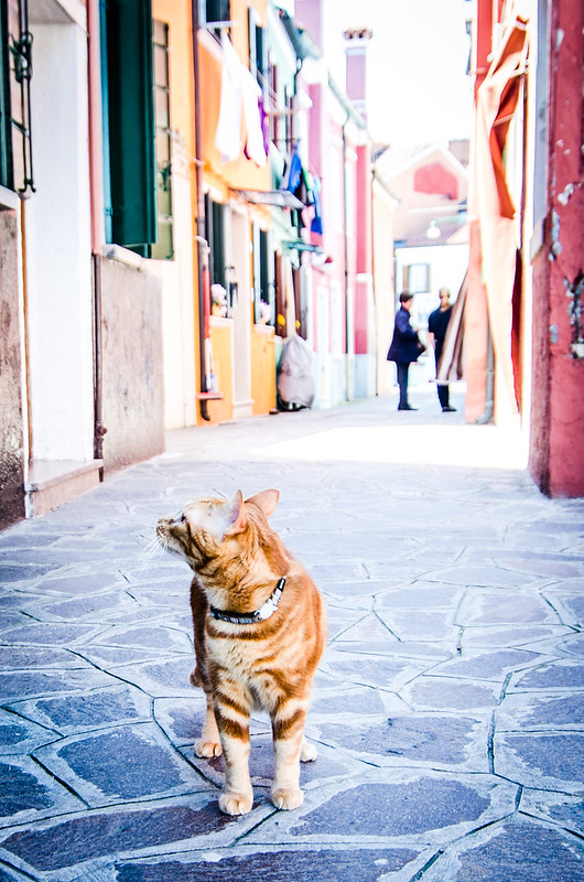 A curious orange cat stops in a Burano alley.
