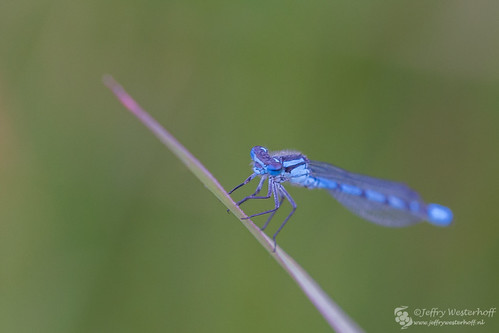 Common Blue Damselfly (Dutch: Watersnuffel)