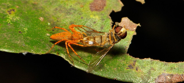 A Lynx Spider (Hamataliwa sp., Oxyopidae) is dwarfed by its Hoverfly (Syrphidae) conquest