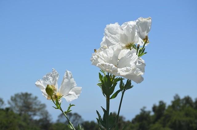 Santa Barbara Botanic Gardens - Poppies