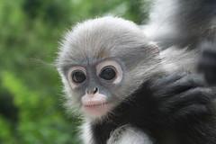 gibbon(0.0), langur(0.0), macaque(0.0), animal(1.0), monkey(1.0), mammal(1.0), fauna(1.0), close-up(1.0), old world monkey(1.0), new world monkey(1.0), wildlife(1.0),