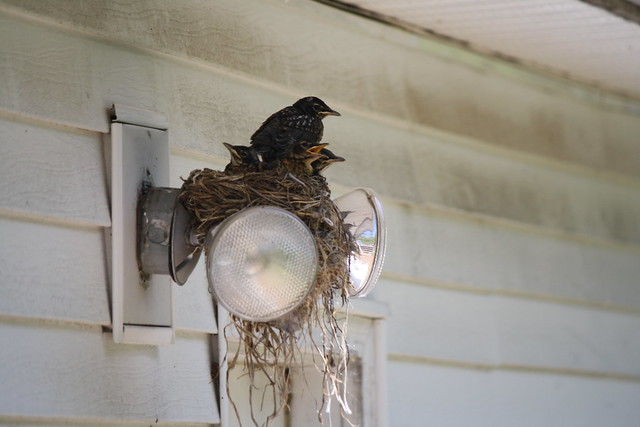 baby robins (1)