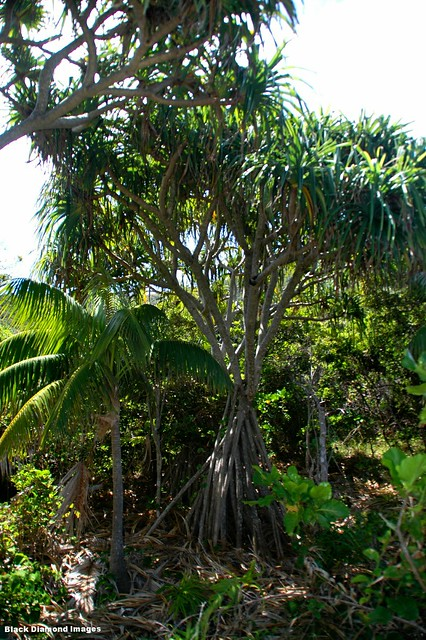 Howea forsteriana, Pandanus forsteri & Atractocarpus stipularis - Old Gulch, North Bay, Lord Howe Island, NSW