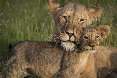 Lioness with Cub (Samburu National Reserve)