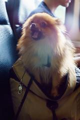 Pomeranian on Bus (8)