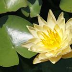 Un fiore di ninfea gialla
