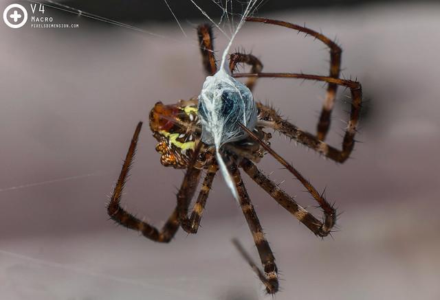 St. Andrew Cross Spider Attack- Argiope versicolor ♀