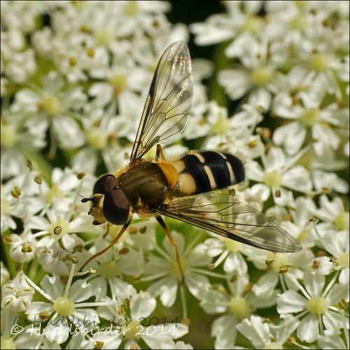 Hoverfly Leucozona laternaria