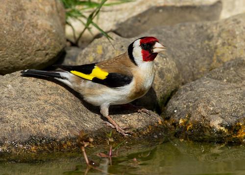 IMG_1335 Goldfinch  (Explore)
