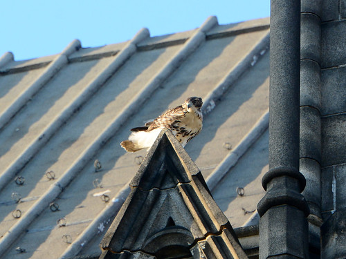 Cathedral Hawk Fledgling - 3219