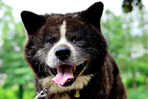 Akita Dog, Taro in The Park : 秋田犬タロー