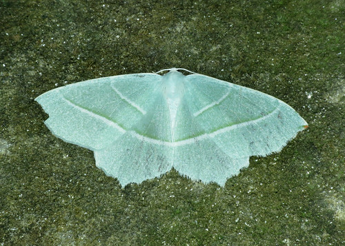 1961 Light Emerald - Campaea margaritata