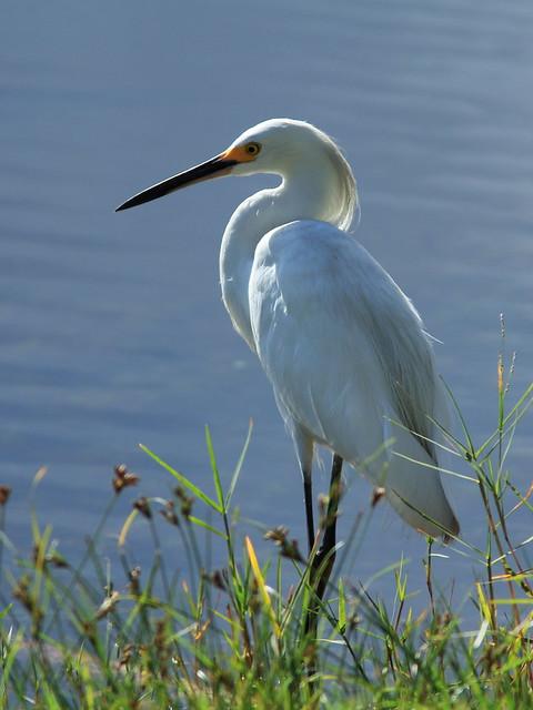 Snowy Egret 4-20140722