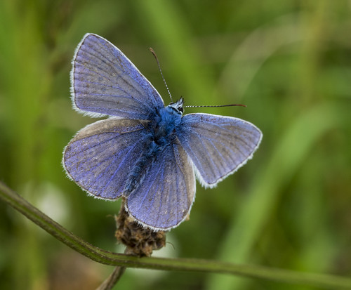 common blue butterfly 382  (21)