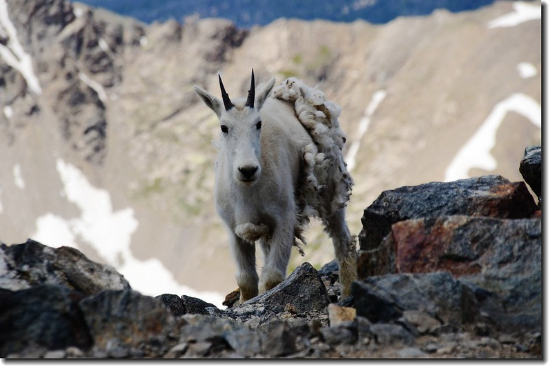 Mountain Goat 4