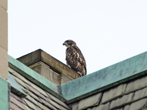 Cathedral Juvenile Hawk - 3769