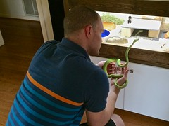 nalundgaard posted a photo:	I got a new green tree python. His name is Ferdinand. My wife snapped this picture of us meeting. Here he is, checking out my kingsnake Maya's cage.