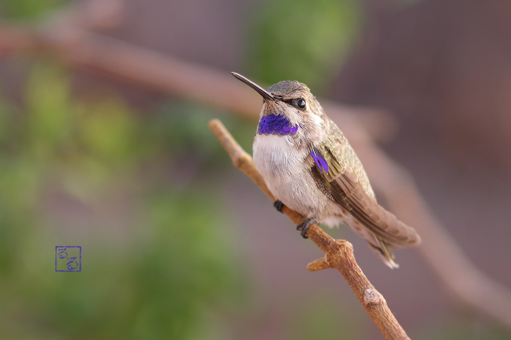 immature male Costa's Hummingbird 140714