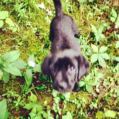 #TiNkErBeLL #catCoLLaR needed on these #blacktiLe #floors to hear her underfoot #M00pE #dog #pup #lab #week8day7 #11539