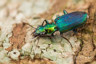 Ground Beetle (Catascopus dalbertisi) - DSC_1975