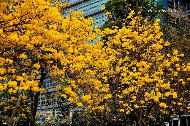 黃風鈴木3