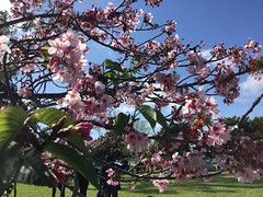 At the cherry blossom festival, Columbia Park in Torrance