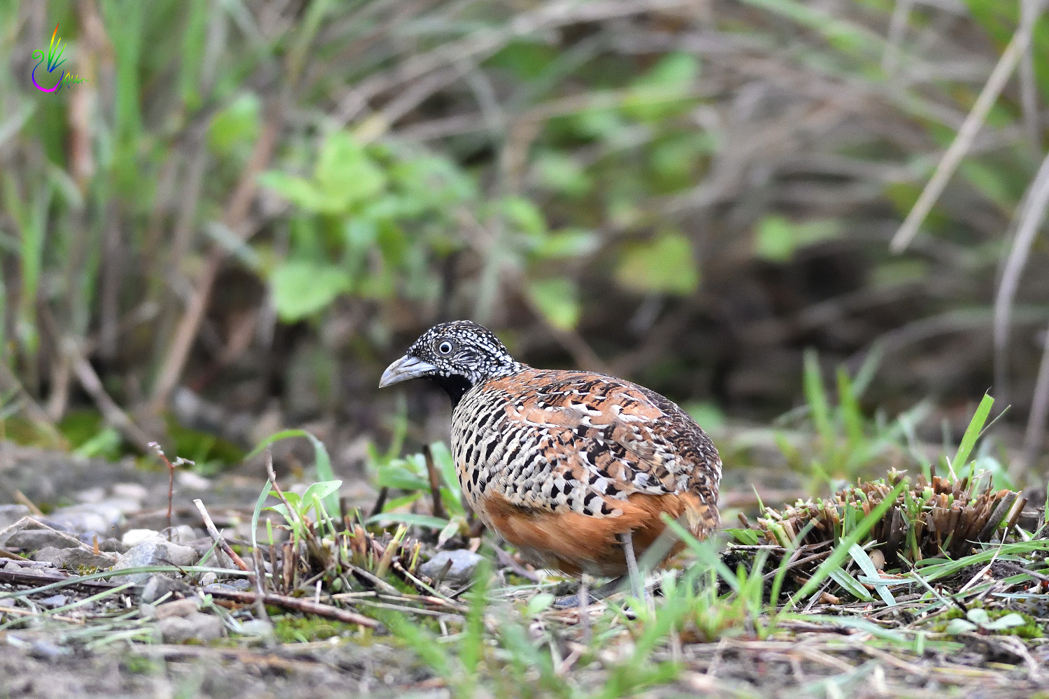 Barred_Buttonquail_2077