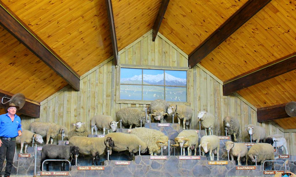agrodome-farm-sheep-show